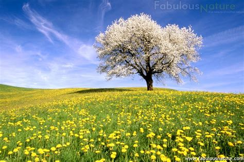 pictures of trees trees pictures cherry tree and dandelion meadow zug