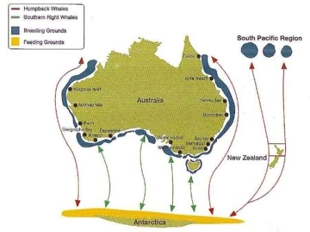 migration pattern of blue whale whale watching season australia pictures video magsx2