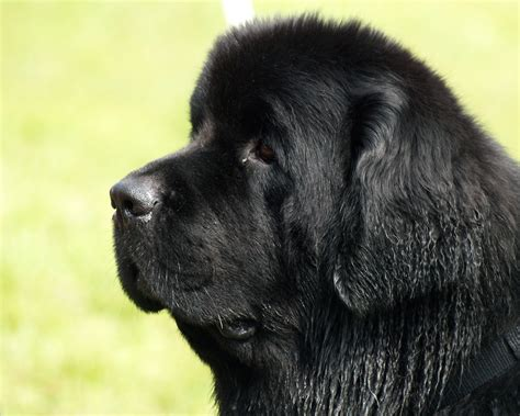 black newfoundland puppy powerpet treats breed of the week power pet