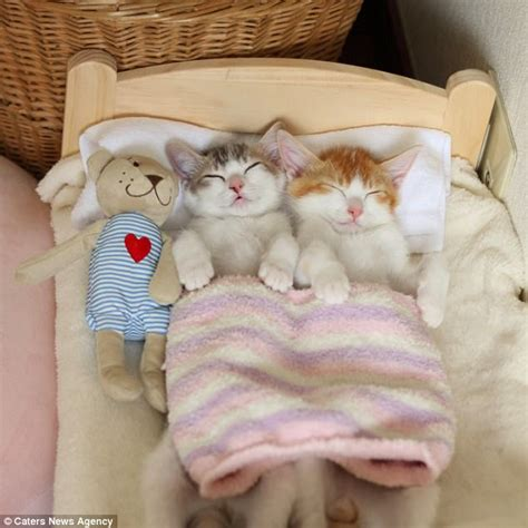 kitten in bed kittens in japan can t sleep unless they cosy up together