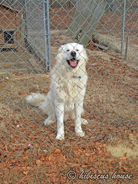 great pyrenees dog house hibiscus house casper our new great pyrenees dog