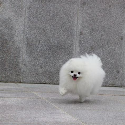 pomeranian colors white 25 best ideas about white pomeranian on white pomeranian puppies