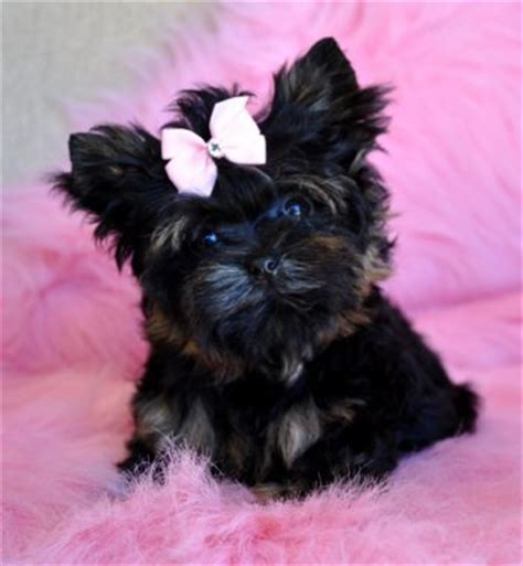 black teacup yorkie the gallery for gt teacup black yorkie poo