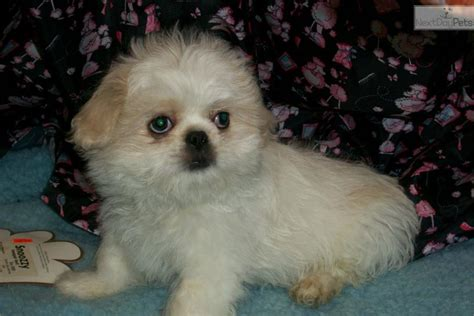 pekingese puppies for sale near me contact me