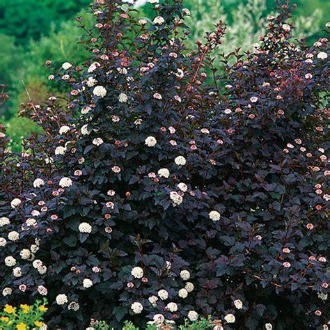 physocarpus opulifolius diabolo diabolo ninebark grows 6 10 backyard dreams