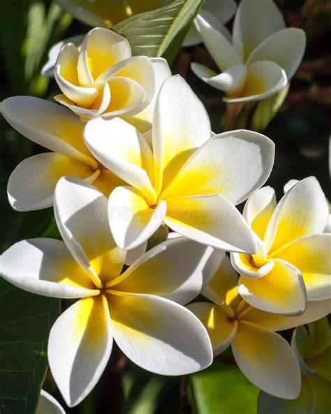 fiori frangipane mazzo dei fiori tropicali frangipane immagine stock