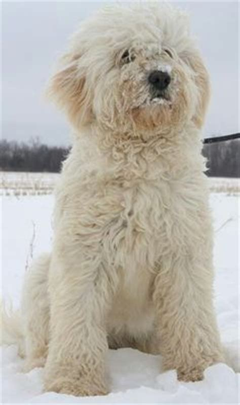 goldendoodle puppy coat shedding goldendoodle a golden retriever with curly hair and no