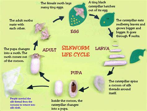 Thread Of The Silkworm raising silkworms