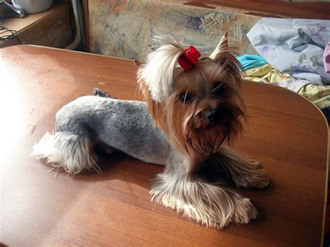 popular yorkie haircuts explore yorkie haircuts pictures and select the best style for your pet