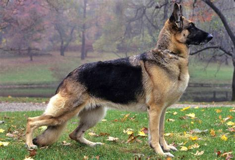 types of shepherd dogs different types of shepherd dogs pets world