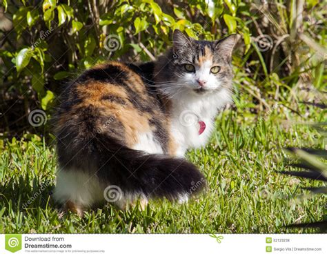 beautiful female kitten calico or tortie cat stock photo image 52123238