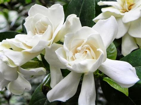 plants  show stopping white flowers homes  love