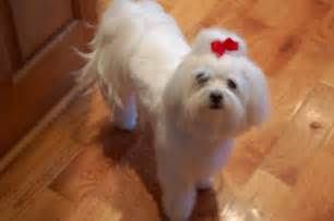different maltese haircuts pictures maltese dog haircuts styles pictures