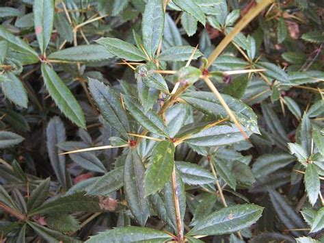Types Of Soil For Gardening - berberis julianae
