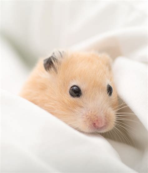 hamster bedding best hamster bedding for dwarf or syrian hamsters