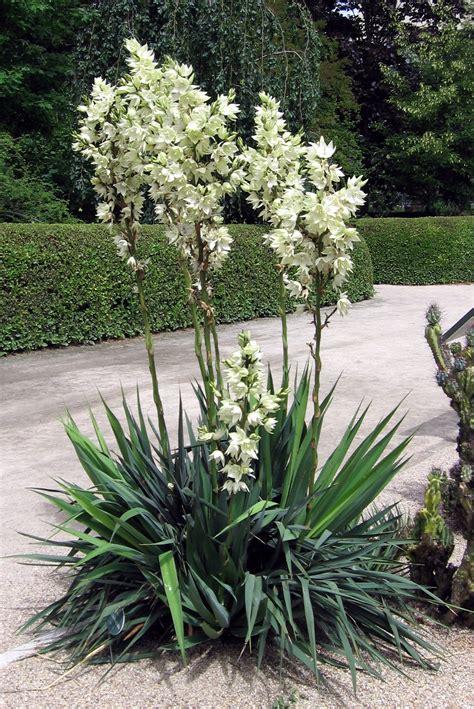 garten yucca file yucca flaccida jpg