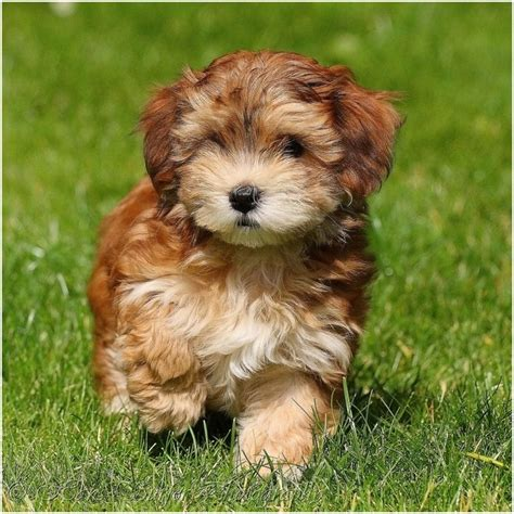 pictures of a havanese havanese puppies breed facts pictures price temperament animals adda
