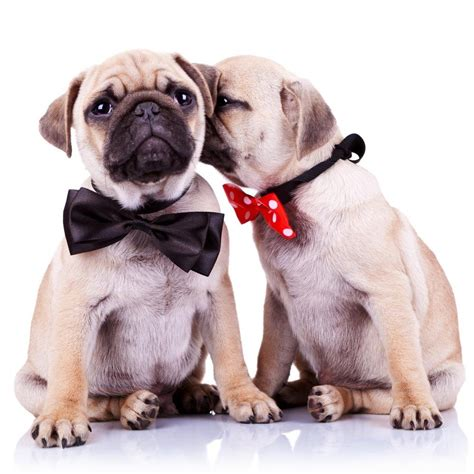 pug allergic reaction pug puppies guide to puppies