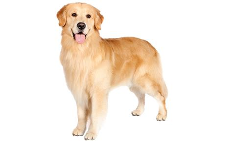 average weight of golden retrievers golden retriever breed gallery