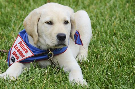 service dogs california plumas county ca official website service dogs