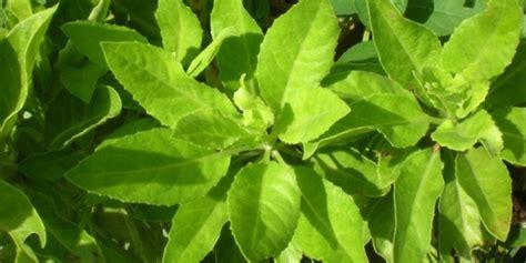 manfaat handeuleum   khasiat daun ungu oye