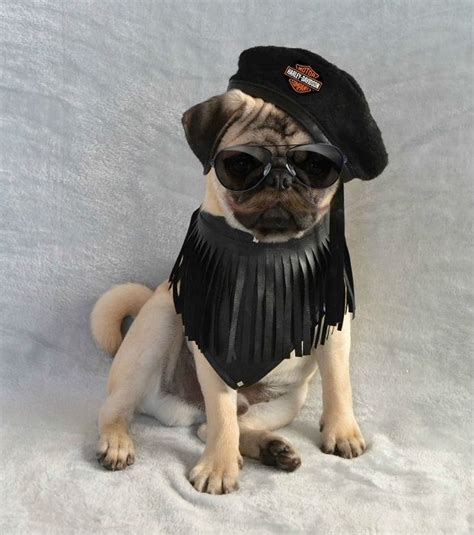 pug costume ideas 1000 ideas about pug costumes on pugs in costume pug costume