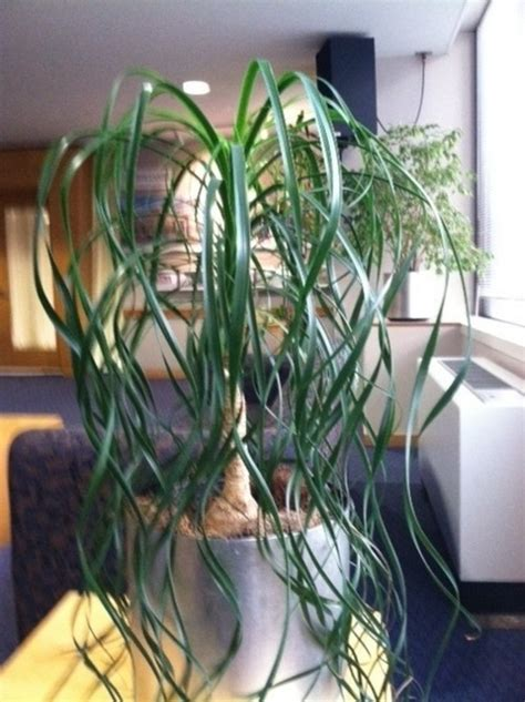 while not a palm this showy plant has large bright green finding a curly ponytail palm
