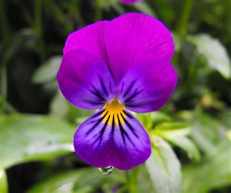 foto fiore viola foto gratis fiore viola pensiero bloom immagine