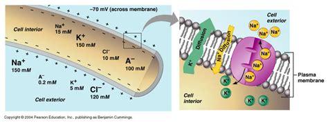 ch  membrane potential