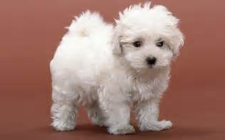 White Fluffy Animals Dogs White Fluffy Puppy 075624 Jpg Litle Pups