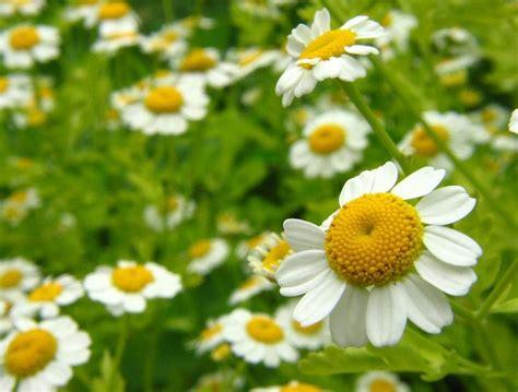 imagenes de flores medicinales plantas medicinales plantas medicinales