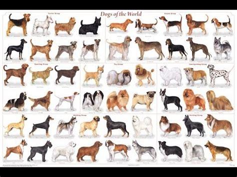 types of purebred dogs razas de perros cuidados entrenamiento alimento