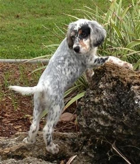 english setter dog 101 tri color english setter puppies google search wild