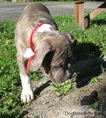 my puppy keeps pooping in his crate at raising a puppy about 2 1 2 months spencer the blue nose brindle pit bull