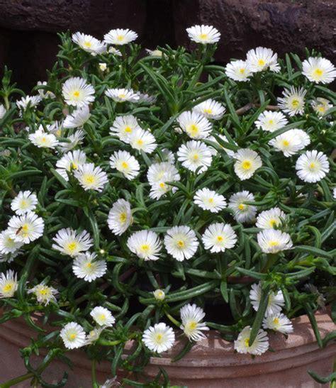 Baldur Garten Winterharte Pflanzen by Winterharte Eisblume White Bodendecker Stauden