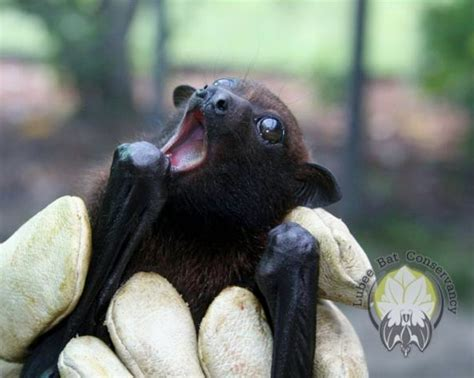 cute baby flying fox bat bat baby hangs out for halloween zooborns