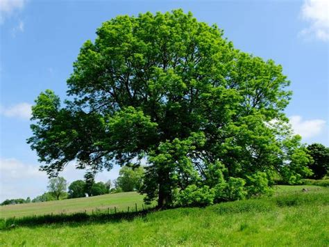 tree pic introduction to wood species ash shannon waterman