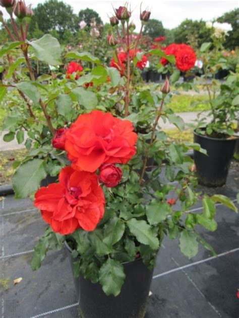 rhododendron yakushimanum hybriden 2276 beetrose remembrance 174 rosa remembrance 174 orange rot