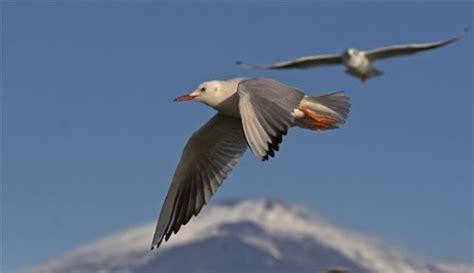 gabbiano uccello gabbiano roseo le specie protette gli uccelli in