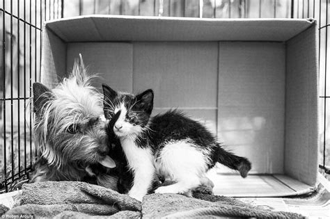 yorkie and cats photos by robyn arouty show stray yorkie caring for two kittens daily mail