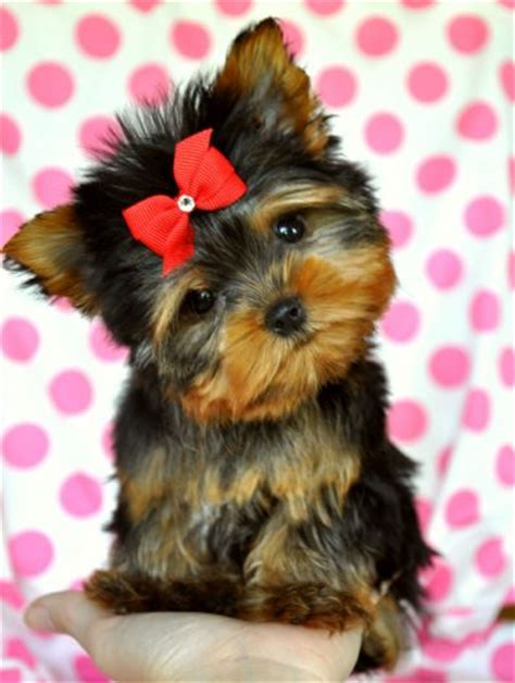 a baby yorkie yorkies a letter to my