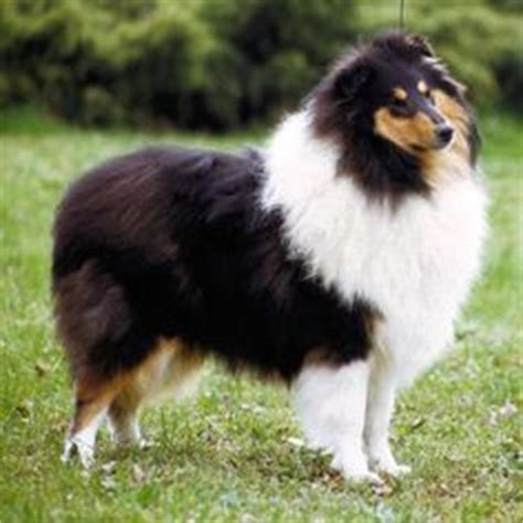 lassie breed 1000 images about collies aka lassie best breed on