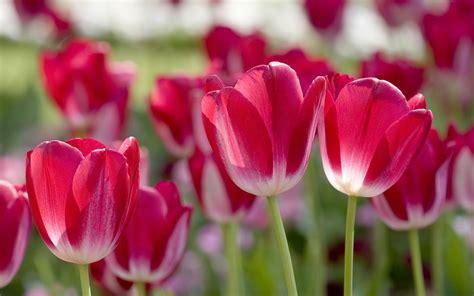 flower spring spring flowers hd wallpup com