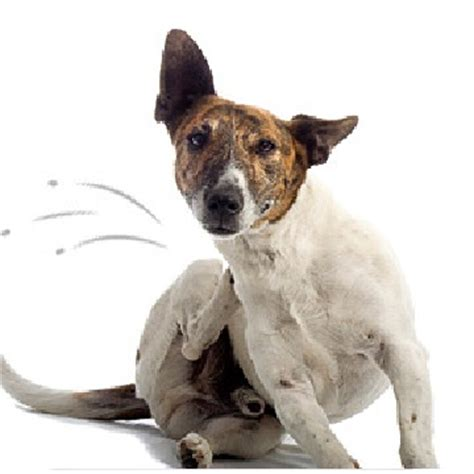 how do dogs get fleas how to get rid of fleas naturally step by step
