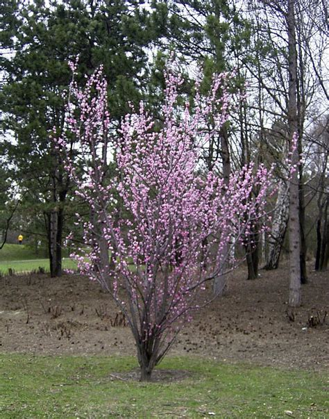 tree finder treefinder prunus mume alphandii 180