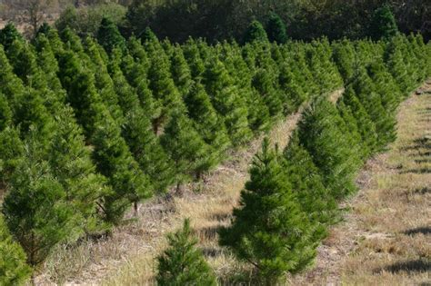 used christmas trees smith county agriculture