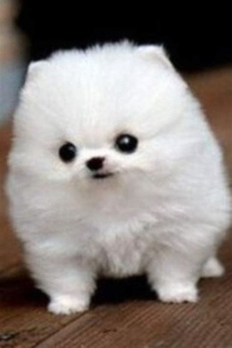 fluffy puppies pin fluffy puppies on
