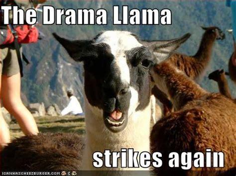 Drama Llama Meme - drama llama meme quotes