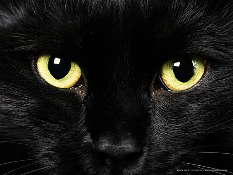 black kitten wallpaper deanne morrison black cat wallpaper