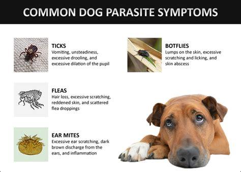 symptoms of parasites in dogs parasites those pesky fleas ticks and mites